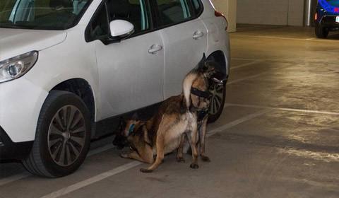 Gossos detectors d'explosius